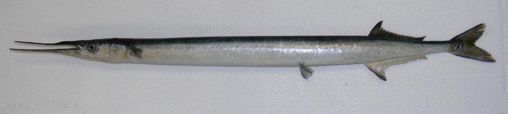 orphie-aiguillette